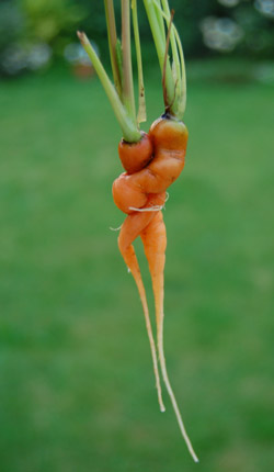 organic grown strange carrot