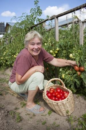 Picking tomatoes from a Kitchen Garden