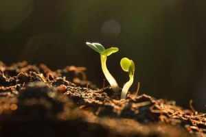 Planting seeds and day to maturity