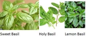 Basil types