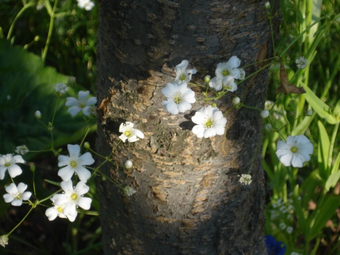 Tiny white flowers against the trunk of a cherry tree