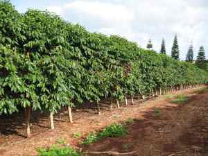 orchard of Coffee Trees