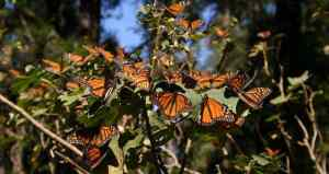 monarch butterflies in Michoacán