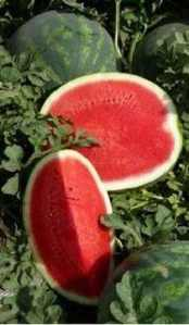 First seedless watermelon produced in 1939