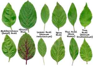Different types of basil