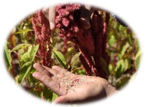 Amaranth plant and seeds