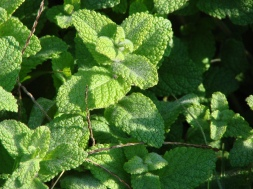 Peppermint - Improve Your Health in the Kitchen Not the Medicine Cabinet