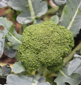 broccoli head and leaves