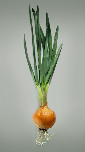 Onion bulb with green leaves and roots