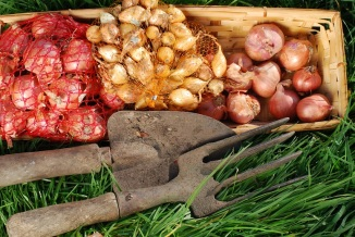 Reaping the Benefits of Gardening Your Own Onions