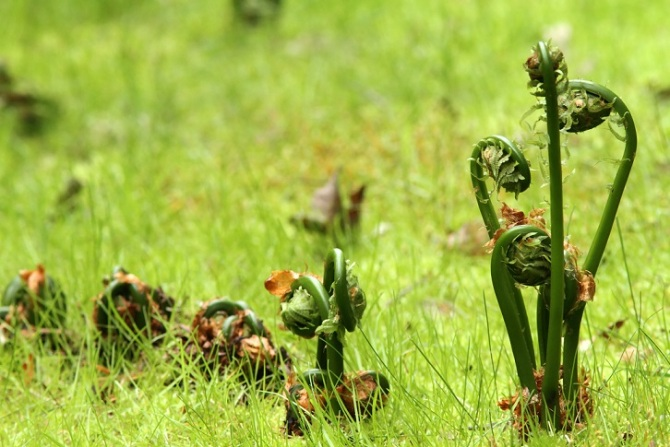 The Eatable Fiddlehead Fern