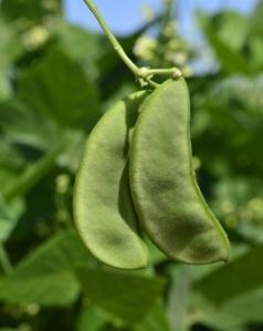 Lima bean pods