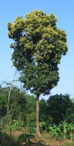 Mango_tree_Kerala_in_full_bloom