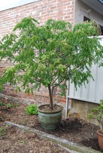 potted curry leaf tree