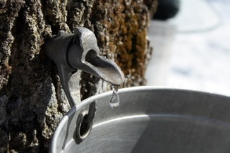 collecting sap to produce maple syrup