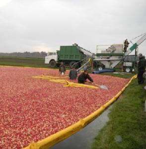 Cranberry Field harvest