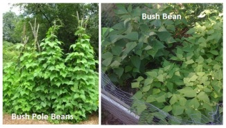image of pole bush beans and bush beans