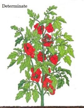 determinate tomato