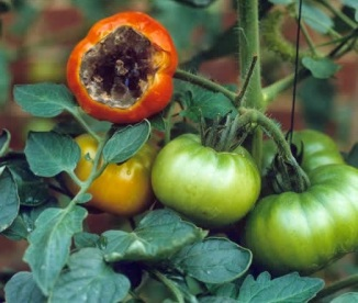 How to Banish Blossom Rot From Your Tomato Garden