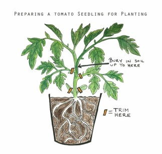 illistration of transplanting a tomato plant
