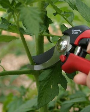prunning tomato suckers for better fruit