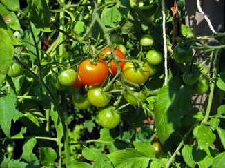 tomato cluster ripening on vine - Yielding An Abundant Tomato Crop With These Gardening Tips