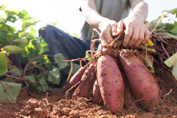 Harvesting sweet potato  tubers