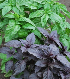 Basil varieties